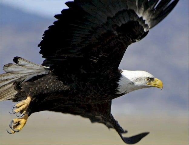 Après avoir lu ce que cet aigle a fait, vous n'abandonnerez plus jamais