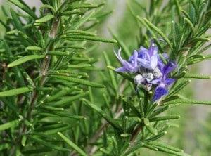 Le romarin est une plante aux propriétés astringentes  qui supporte le système circulatoire .