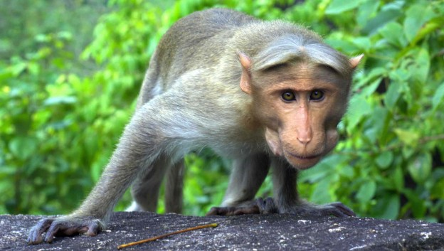 Il était une fois … le centième singe
