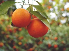 fruit_mur