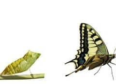 chenille-a-papillon