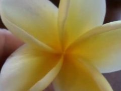 fleur frangipani