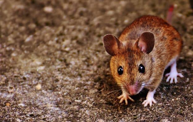 L'homme qui croyait être une souris