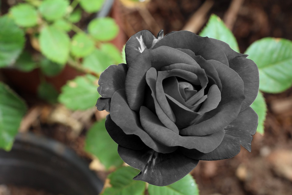 rose-noir