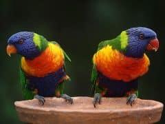 perroquets comm