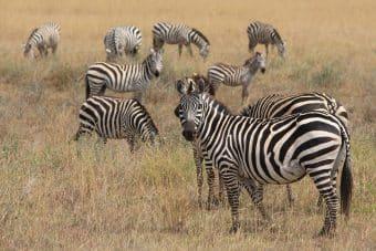 zebra-625153_960_720