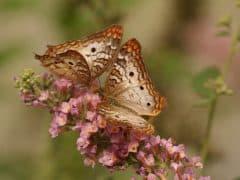 papillon_amour