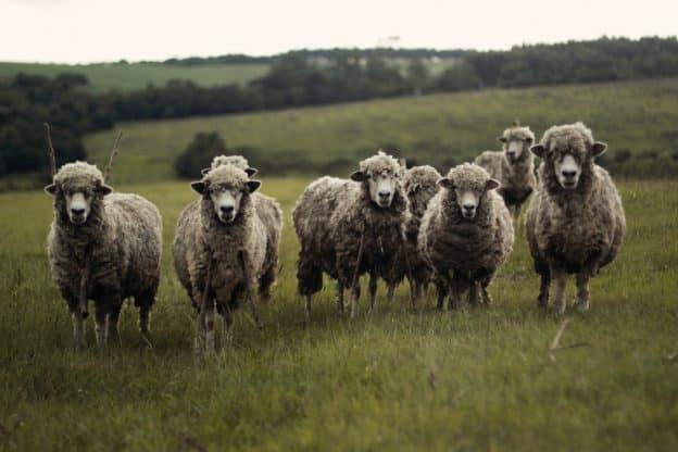 La revanche des moutons : 12 raisons pour lesquelles ils ne sont pas stupides