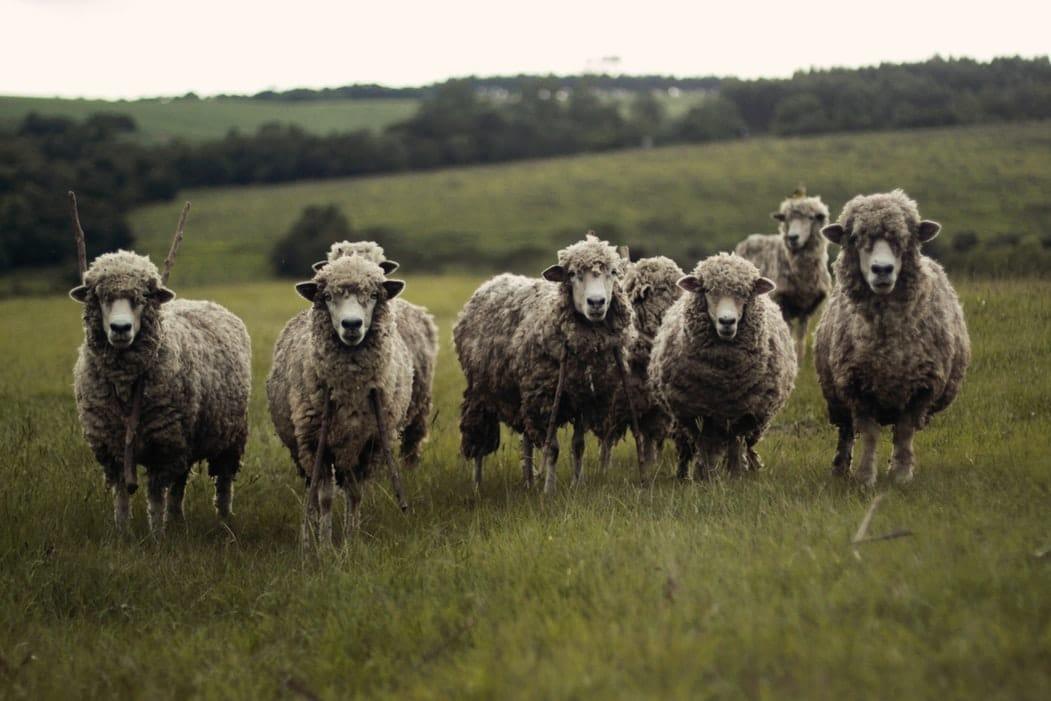 Citation La revanche des moutons : 12 raisons pour lesquelles ils ne sont pas stupides