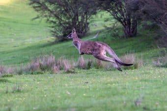 kangaroo-4529326_1280