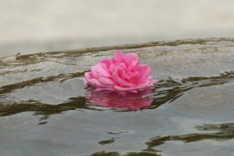 rose-3859934_960_720